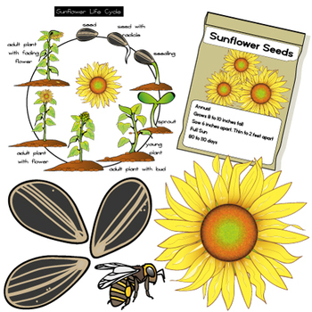 FREE Sunflower Clip Art Set -  Illustrations & Photos