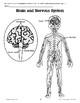 The Brain Controls the Body
