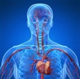 The Cardiovascular System - The Heart for SmartBoard