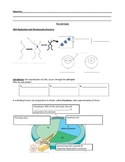 The Cell Cycle - Mitosis Lesson