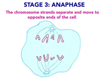 The Cell Cycle - Mitosis PowerPoint (Editable)