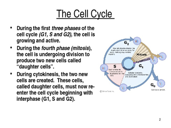 The Cell Cycle and Mitosis PPT