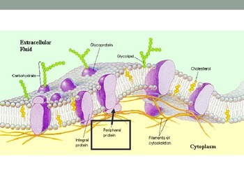 The Cell Membrane PowerPoint