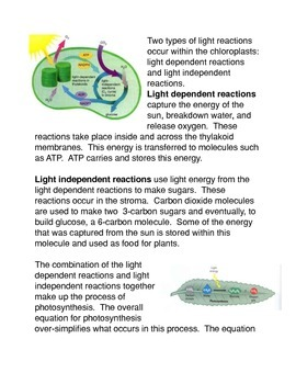 The Chloroplast and the Process of Photosynthesis