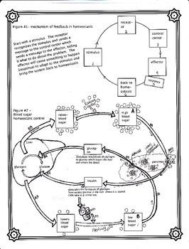 The Control of Blood Sugar Worksheet (Homeostasis)