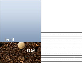 The Cycle of a Seed, using lentils