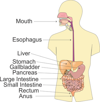 The Digestive System Clip Art