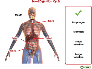 The Digestive System - From Stomach to Fuel - MAC Gr. 3-8