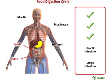 The Digestive System - From Stomach to Fuel - PC Gr. 3-8