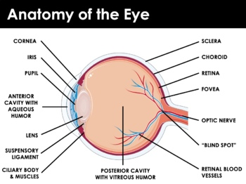 Body Senses - The Eye and Vision