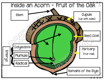 The Forest Inside One Little Acorn ~  Life Cycle of an Oak Tree Integrated Unit