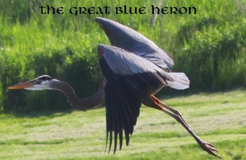 The Great Blue Heron.....(photos for commercial use)