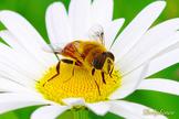 The Great Honey Bee Photostory