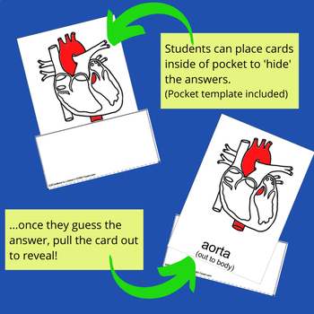 The Heart - Human Anatomy Nomenclature Cards