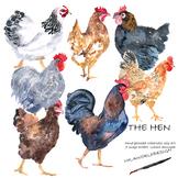 The Hen Watercolor illustration set