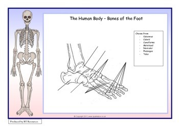 The Human Body - Bones of the Foot