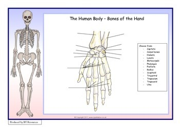 The Human Body - Bones of the Hand