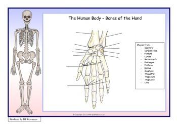 The Human Body - Bones of the Hand