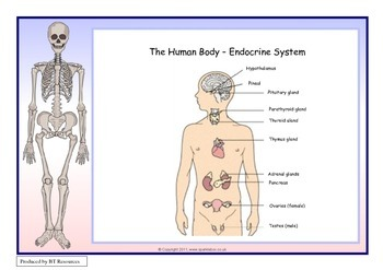 The Human Body - Endocrine System