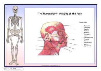 The Human Body - Muscles of the Head