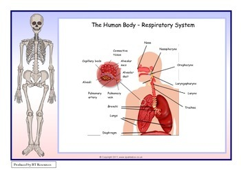The Human Body - Respiratory System