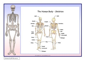 The Human Body - Skeleton