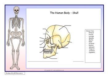 The Human Body - Skull