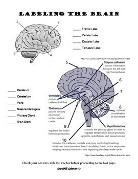 The Human Brain- Read and Label Worksheet by Sandhill ...