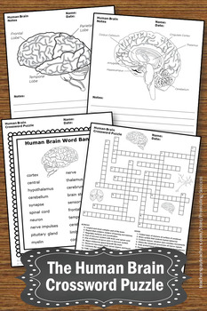 Human brain science crossword puzzle body systems worksheets the human brain science crossword puzzle body systems worksheets ccuart Choice Image