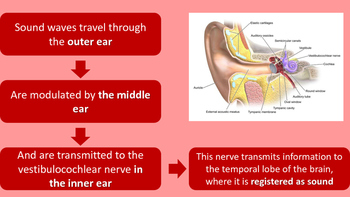 The Human Ear Powerpoint Presentation