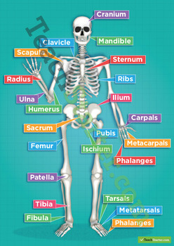 The Human Skeletal System Poster and Game