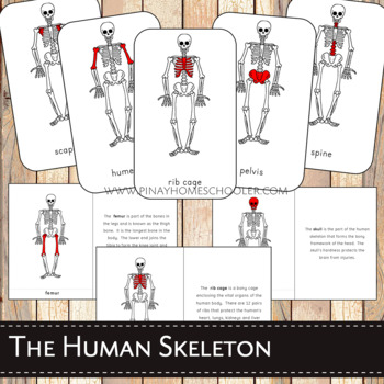 Montessori Human Skeleton 3 Part Cards and Definitions