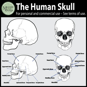 The Human Skull Clip Art {Messare Clips and Design}
