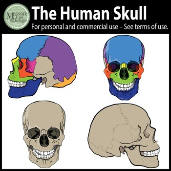 The Human Skull Clip Art {Messare Clips and Design}