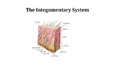 The Integumentary System PowerPoint