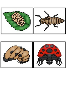 The Ladybug Life Cycle