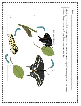 The Life Cycle of a Butterfly - Life Cycle Practice - Life Cycle Printable