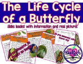 The Life Cycle of a Butterfly Power Point Slides