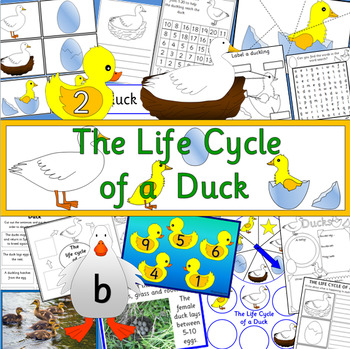 The Life Cycle of a Duck- Spring, Duckling