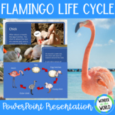 The Life Cycle of a Flamingo PowerPoint Presentation (10 slides)