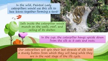 The Life Cycle of a Painted Lady Butterfly (Interactive PowerPoint)