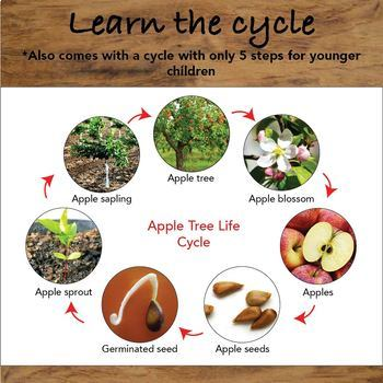 The Life Cycle of an Apple Tree Package
