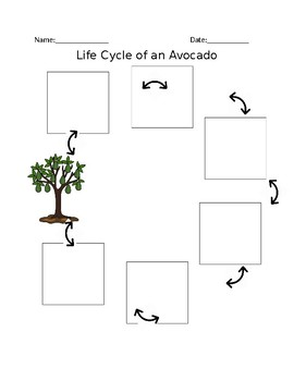 The Life Cycle of an Avocado