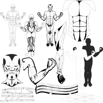 The Muscular System Clip Art