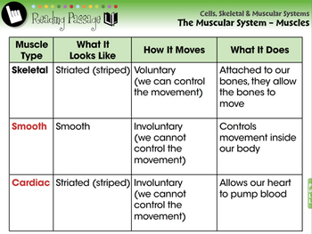 The Muscular System - Muscles - PC Gr. 3-8