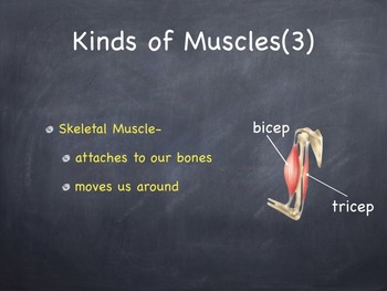 The Muscular System Powerpoint Presentation Lesson