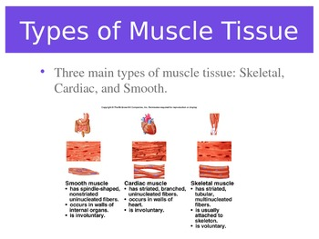 The Muscular System Lesson - Powerpoint or Flipped Classroom Base