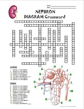 Nephron Crossword with Diag... by Tangstar Science | Teachers Pay ...