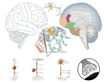 The Nervous System 6 Product Worksheet Bundle (With Test!)