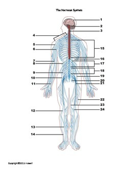 The Nervous System Identification Quiz or Worksheet for Anatomy